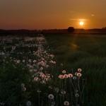 Međimursko polje maslačaka