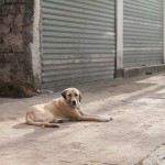 Jedan od mnogobrojnih pasa u Skadru